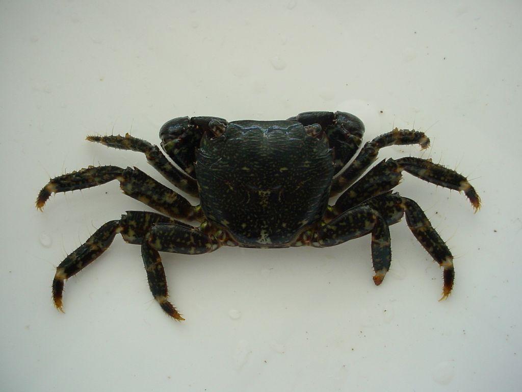 crabe marbre