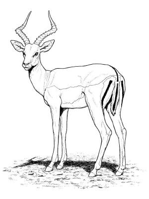 1901-2-belle-antilope